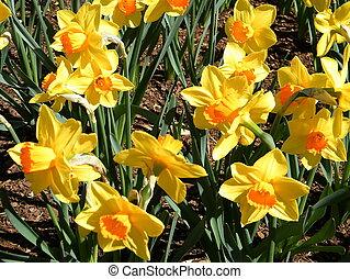 Washington Carpet of Narcissus 2010