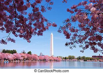 Washington DC cherry blossom - Cherry blossom and Washington...