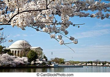 Washington DC Jefferson Memorial with Cherry Blossoms -...