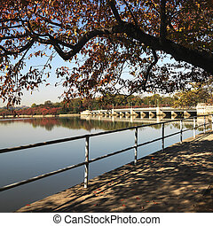 Washington, DC. - Tree by tidal basin in Washington, DC,...