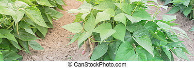 washington, oogsten, usa, panoramisch, struik, tong, heuvel, draak, roeien, bonen, groeiende, gereed