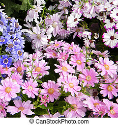 Washington Pink and other Daisies 2010