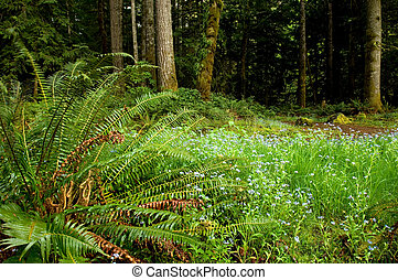 Washington trails - Rainforest on Olympic peninsula,...