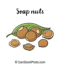 washnut)., sapindus, (soap, mukorossi, nueces, soapberry