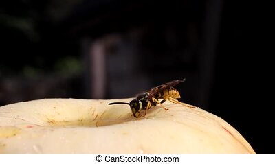 Wasp dines - Wasp takes honey from going into the apple