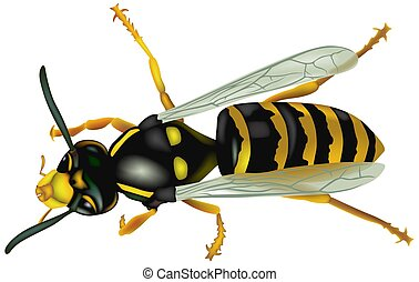 Wasp (Vespa Vulgaris) - High detailed illustration