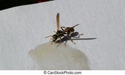 wasp eating honey