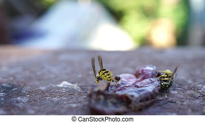 wasp eats meat. video hd