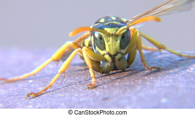 Wasp face - This is a macro shot of a newborn wasp looking...