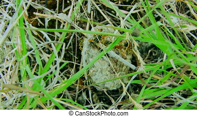 Wasp hive - Wasps in a hive hidden in the grass