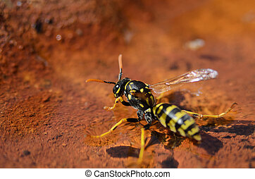 Wasp hovering on water and drinking