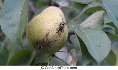 Wasp is eating a pear in garden tree. Close up