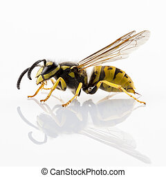 wasp isolated - wasp Vespula germanica species isolated on ...