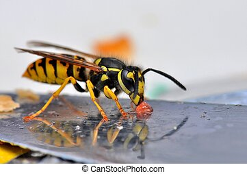 Wasp macro - Macro of a wasp on a bread knife