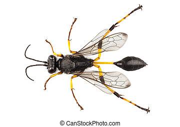 Wasp mud dauber species sceliphron destillatorium in high...