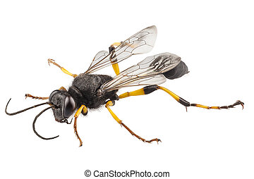 Wasp mud dauber species sceliphron destillatorium in high definition with extreme focus and DOF (depth of field) isolated on white background with clipping path