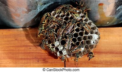 Wasp Nest - Great activity in dangerous European Wasp Nest