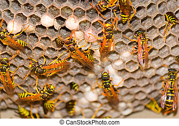 Wasp Nest - Vespula Germanica - A wasp's next with vespula ...