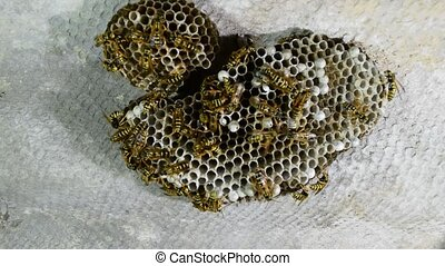 Wasp nest with wasps sitting on it. Wasps polist. The nest...