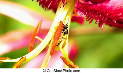 Wasp on a flower lily - Wasp on a Pink lily flower, slow...