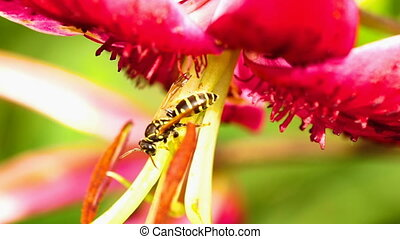 Wasp on a flower lily