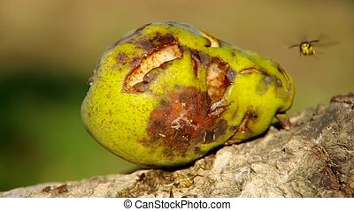 Wasp on a pear