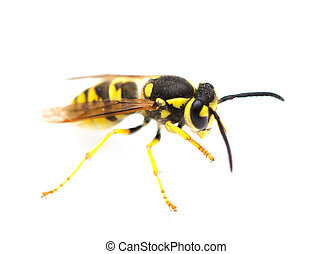 wasp on a white background. macro