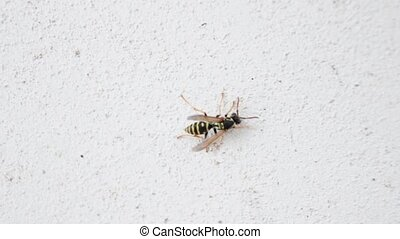 wasp on a white wall