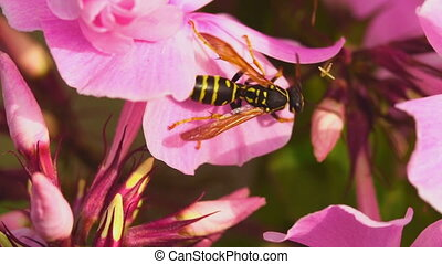 Wasp on pink phlox flowers - Wasp store honey dew from...