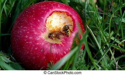 Wasp on red apples