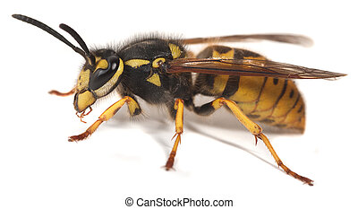Wasp or Yellowjacket - A wasp on a white background, with...