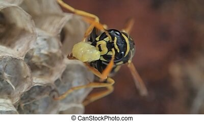 Wasp preparing food - A wasp preparing food fro its larvae