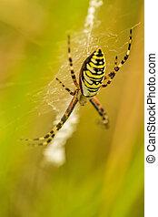 wasp spider, Argiope bruennichi, female