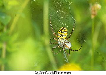 wasp spider, Argiope bruennichi,