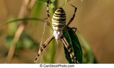 Wasp spider argiope bruennichi