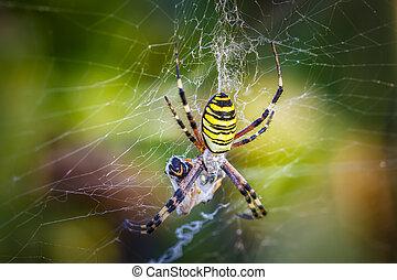 Wasp spider, Argiope with its prey - Wasp spider, Argiope on...