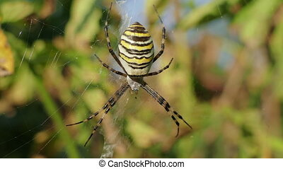 Wasp Spider In Its Web In Ukraine