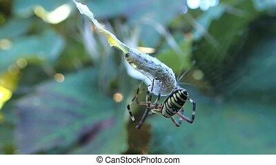 Wasp spider packing a caterpillar - A wasp spider packing a...