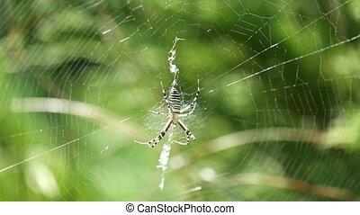Wasp spider sits in a circular web (Argiope bruennichi)