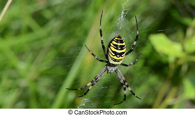 wasp spider web grass - defocus blur wasp spider sit on...