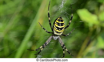 wasp spider web wind - defocus wasp spider argiope...