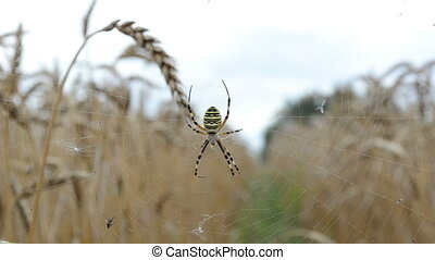 wasp spider wheat ear - closeup wasp spider argiope...
