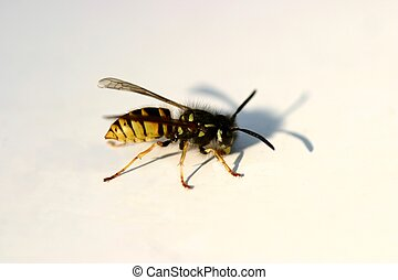 wasp - insect on table