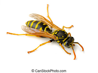 Wasp - European paper wasp (Polistes dominula)