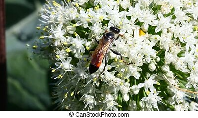 Wasp. - Wasp on flowering onion.