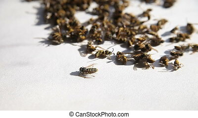 wasps after nest is sprayed - a yellow jacket tries to...