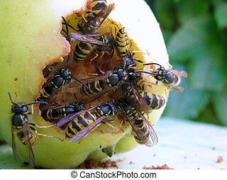 Wasps eating the green apple - many wasps