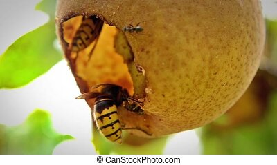 wasps eating a pear tree fruit close up