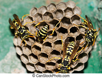 Wasps in the nest