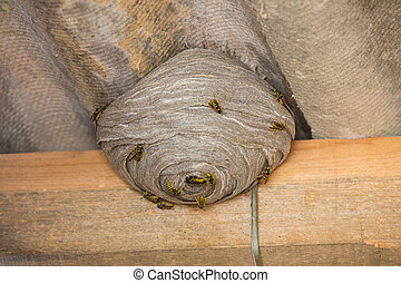 Wasp's nest below asbestos roof - Closeup view of wasps and...